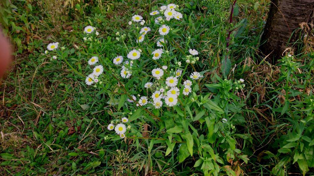 Aster lanceolatus Willd.