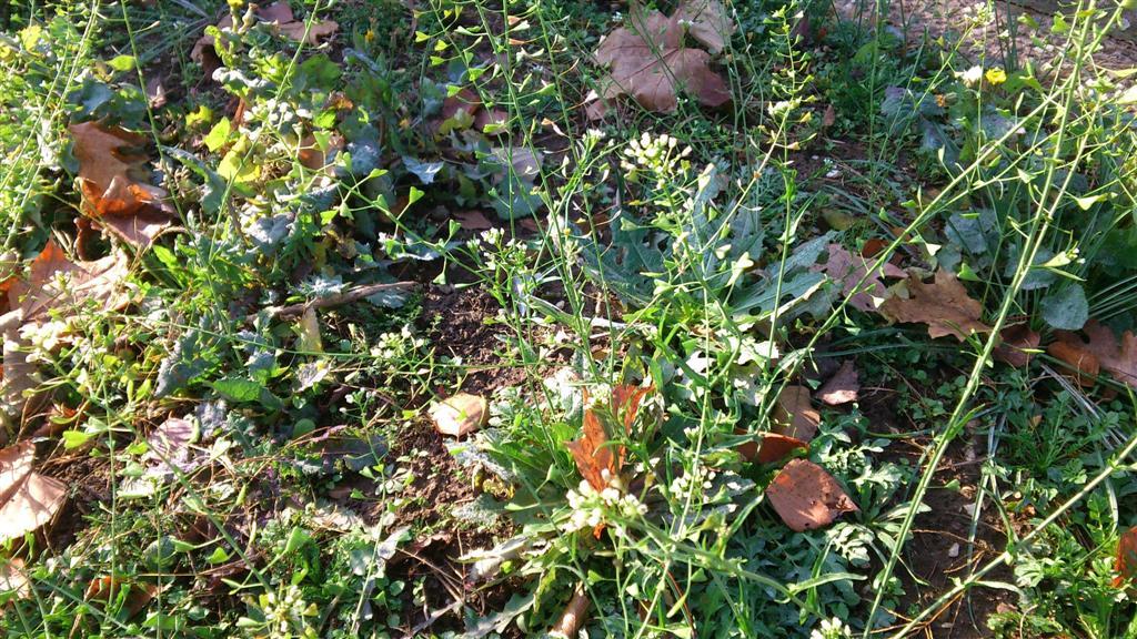 Capsella bursa pastoris