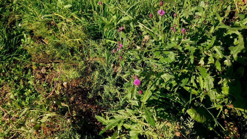 Carduus scanus L.  ( Syn. Cirsium canum( L.) All.) Fam. Asteraceae (Large)