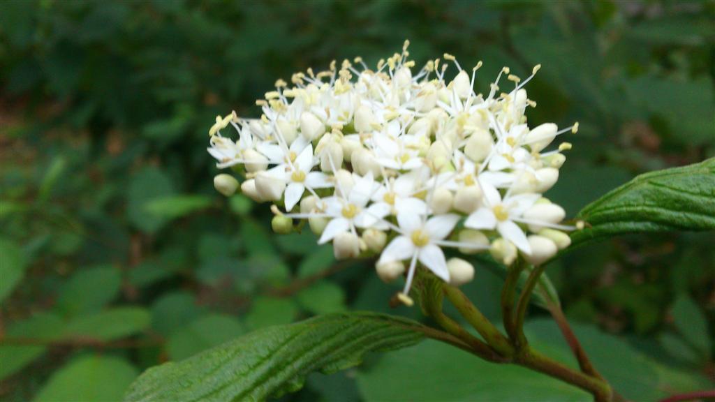 Cornus sanguinea L.( Syn. Telycrania sanguinea ( L. ) Fouur. )- svib (Large)
