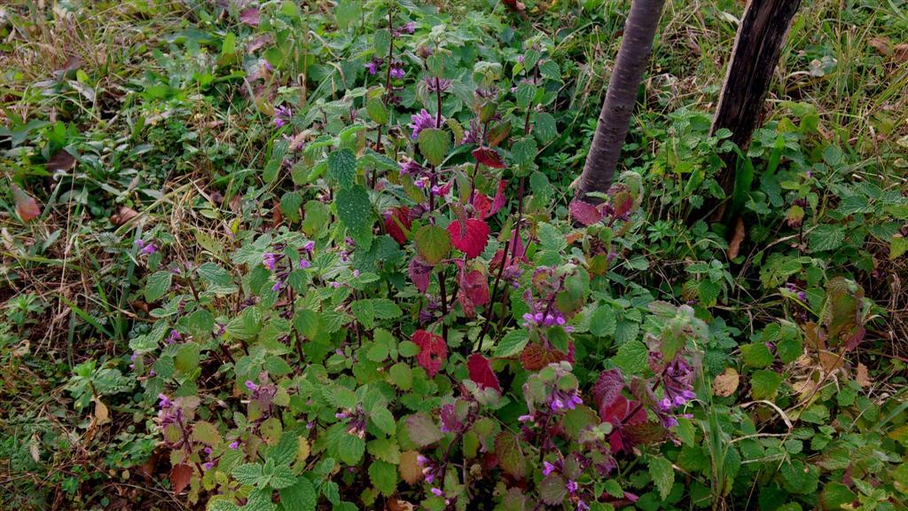 Lamium purpureum M. - Mrtva kopriva crvena (Large)
