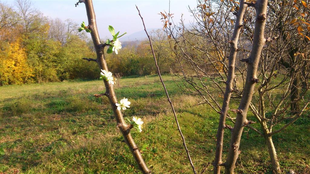 Prunus domestica stanley