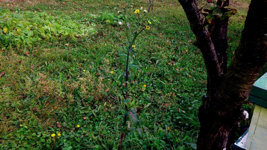 Sonchus oleraceus L. (Large)