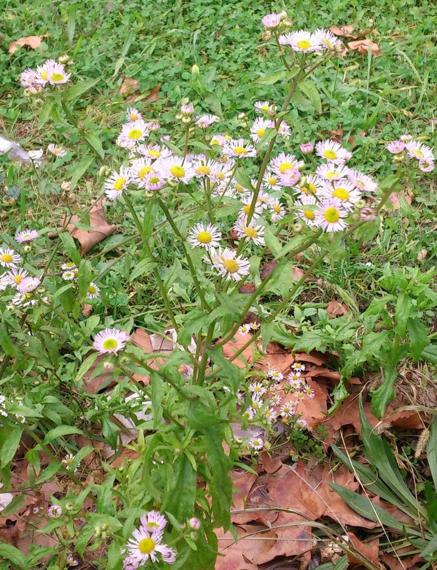 R Aster lanceolatus Willd