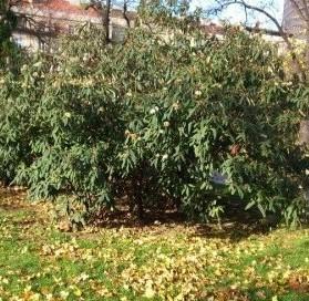 R Viburnum rhytidophyllum 1