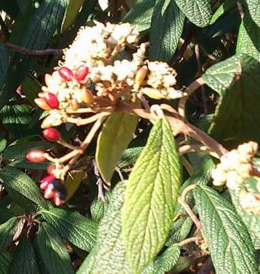 R Viburnum rhytidophyllum