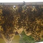 Izvidnice u pčelinjem društvu