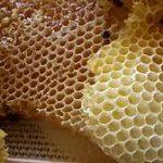 Medljika i zimovanje pčela
