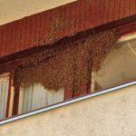 Volonteri uklanjaju rojeve pčela iz stambenih zgrada