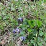 Mala škola medonosne flore – Ljubičica